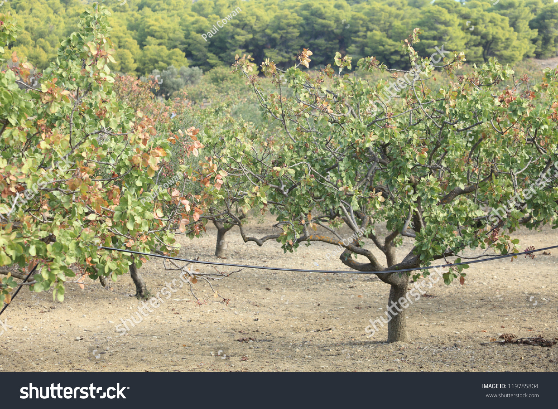 pistachio tree grove greek island aegina stock photo 119785804 shutterstock. Black Bedroom Furniture Sets. Home Design Ideas