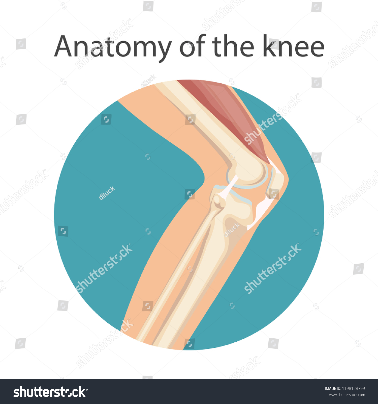 Anatomy Knee Joint Main Parts Knee Stock Vector Royalty Free