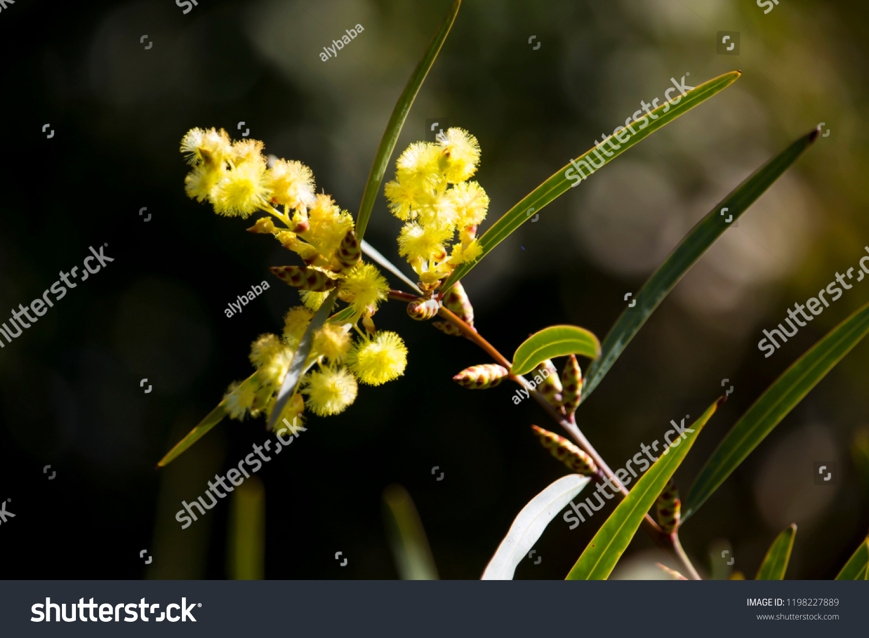 Soft Beautiful Fluffy Fragrant Yellow West Stock Photo (Edit
