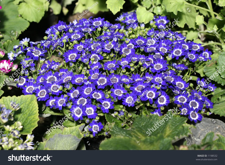 Dark Blue And White Flowers: Geranium Perennial July Close Bright Blue Stock Photo