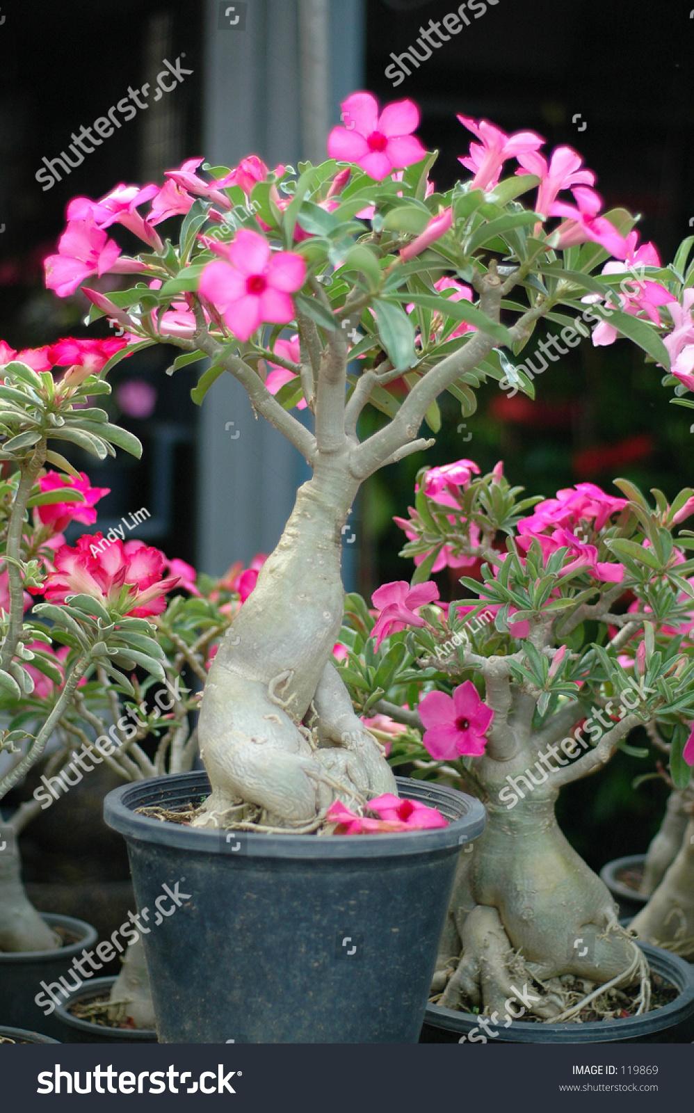 Bonsai Tree Pink Flowers Bangkok Thailand Stock Photo Edit Now