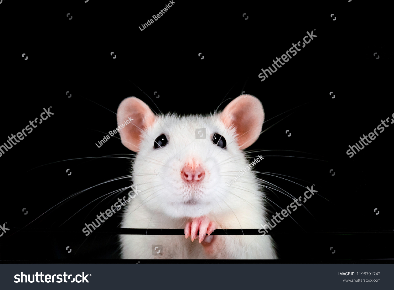stock-photo-cute-white-pet-rat-portrait-