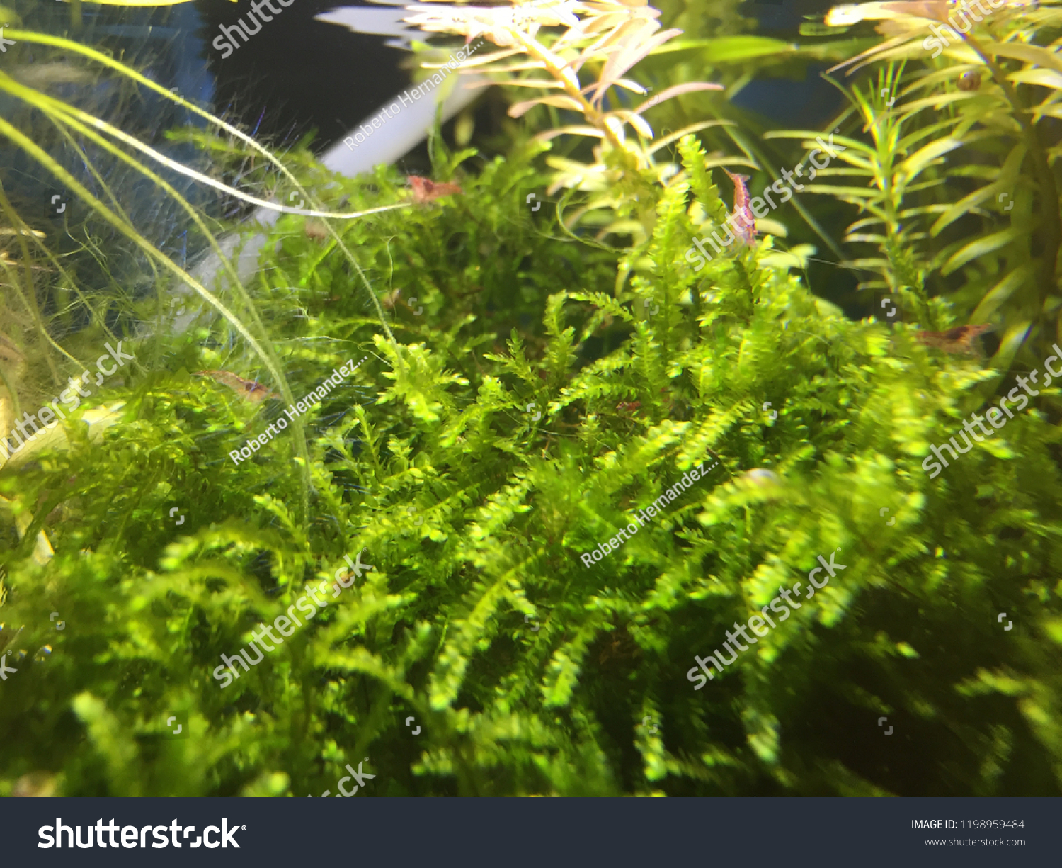 Shrimp Tank Aquarium Aquascape Stock Photo Edit Now 1198959484