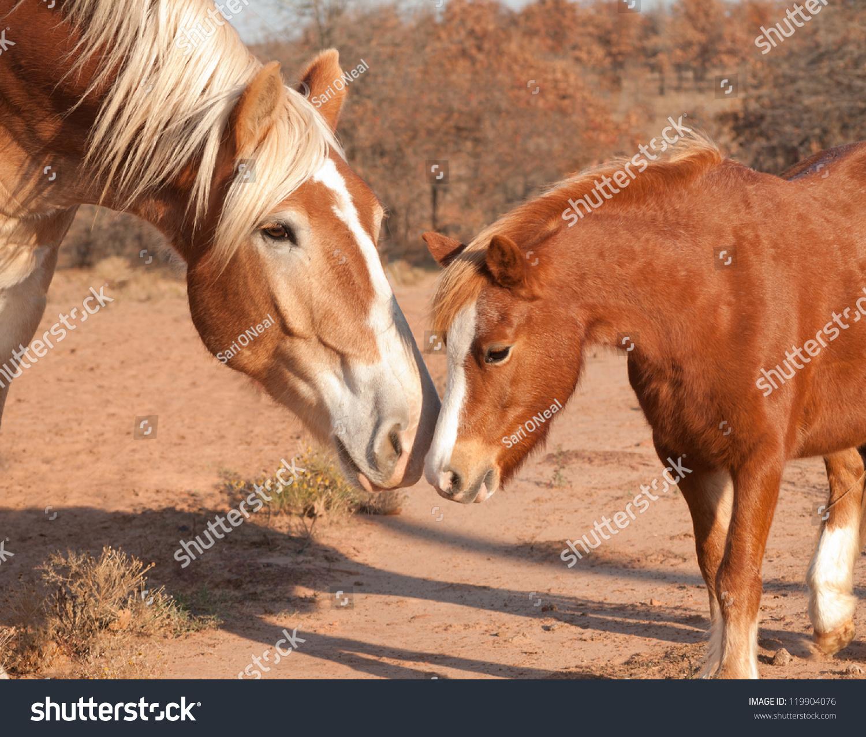stock-photo-large-belgian-draft-horse-ma