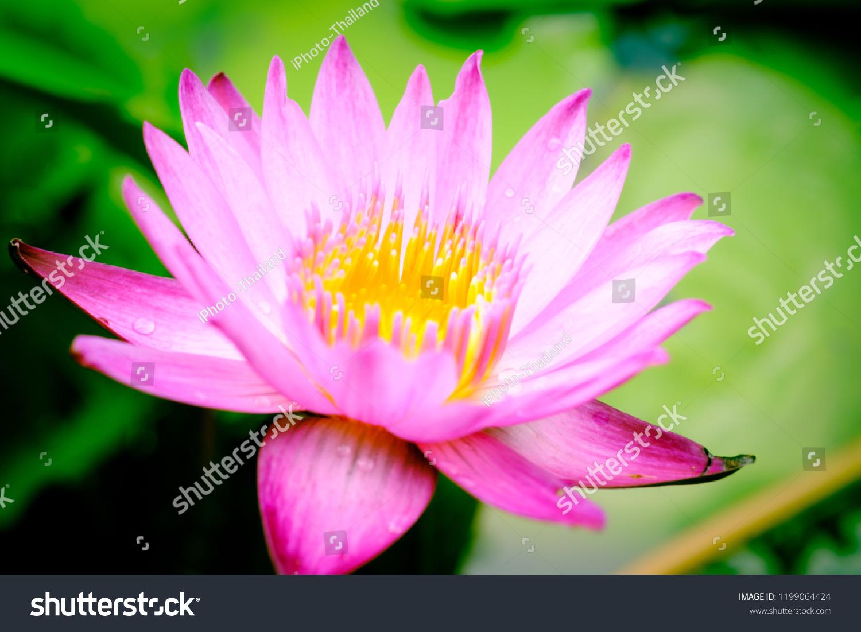Close Image On Blooming Pink Lotus Stock Photo Edit Now 1199064424