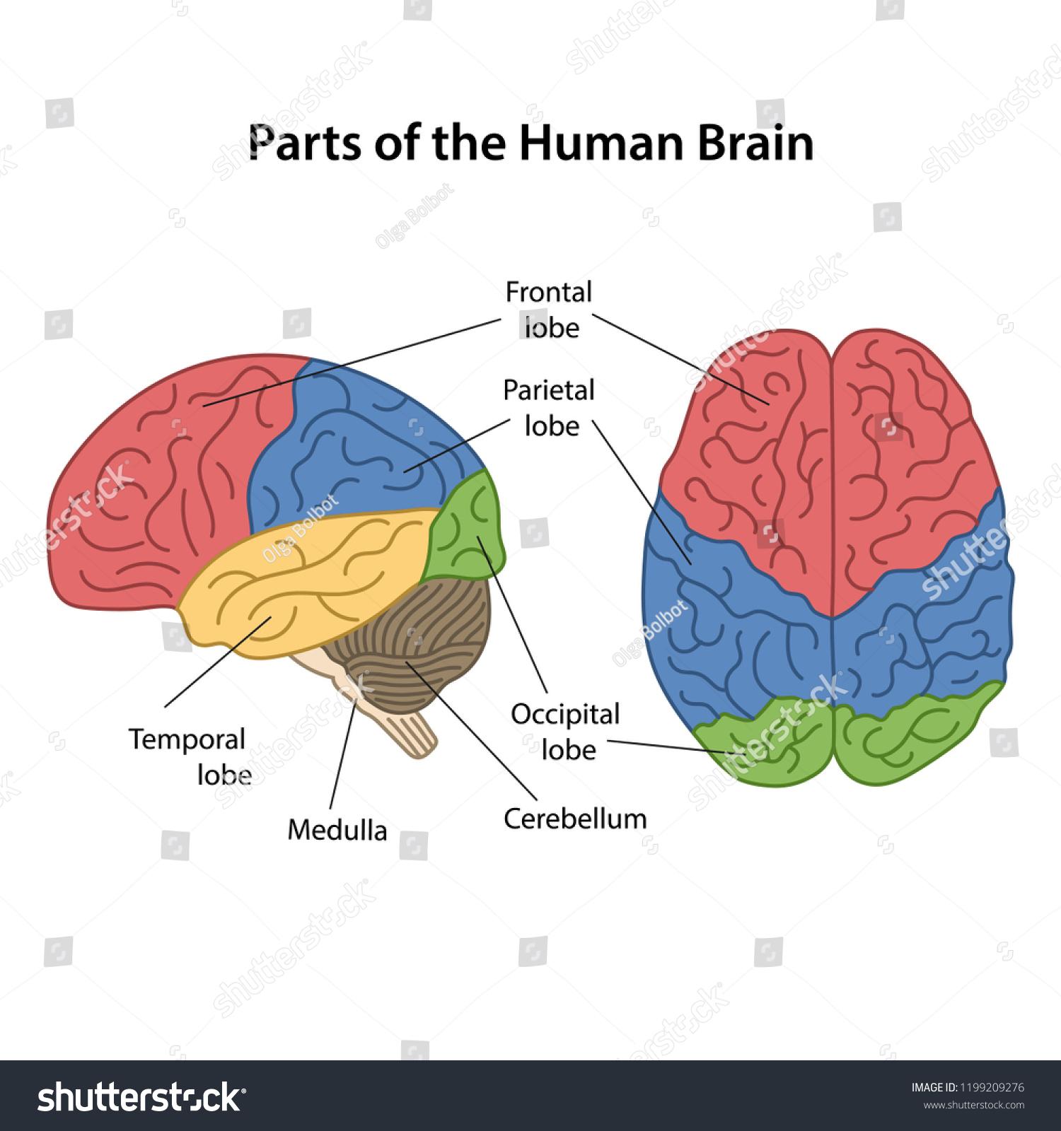 Parts Human Brain Main Parts Labeled Stock Vector Royalty Free