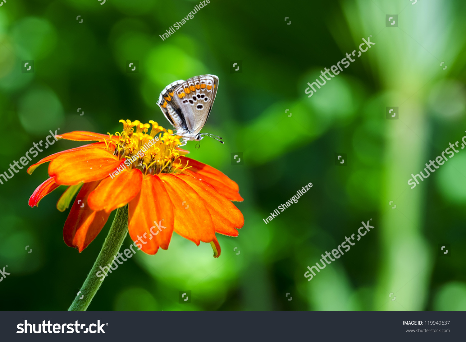 little colorful butterfly on orange flower stock photo 119949637