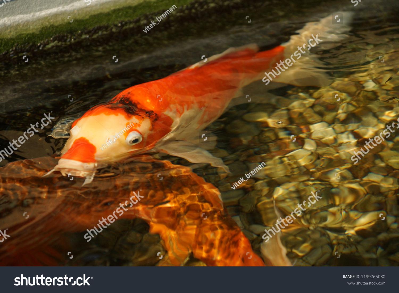 Koi Carp Japan Fish Gold White Stock Photo Edit Now 1199765080