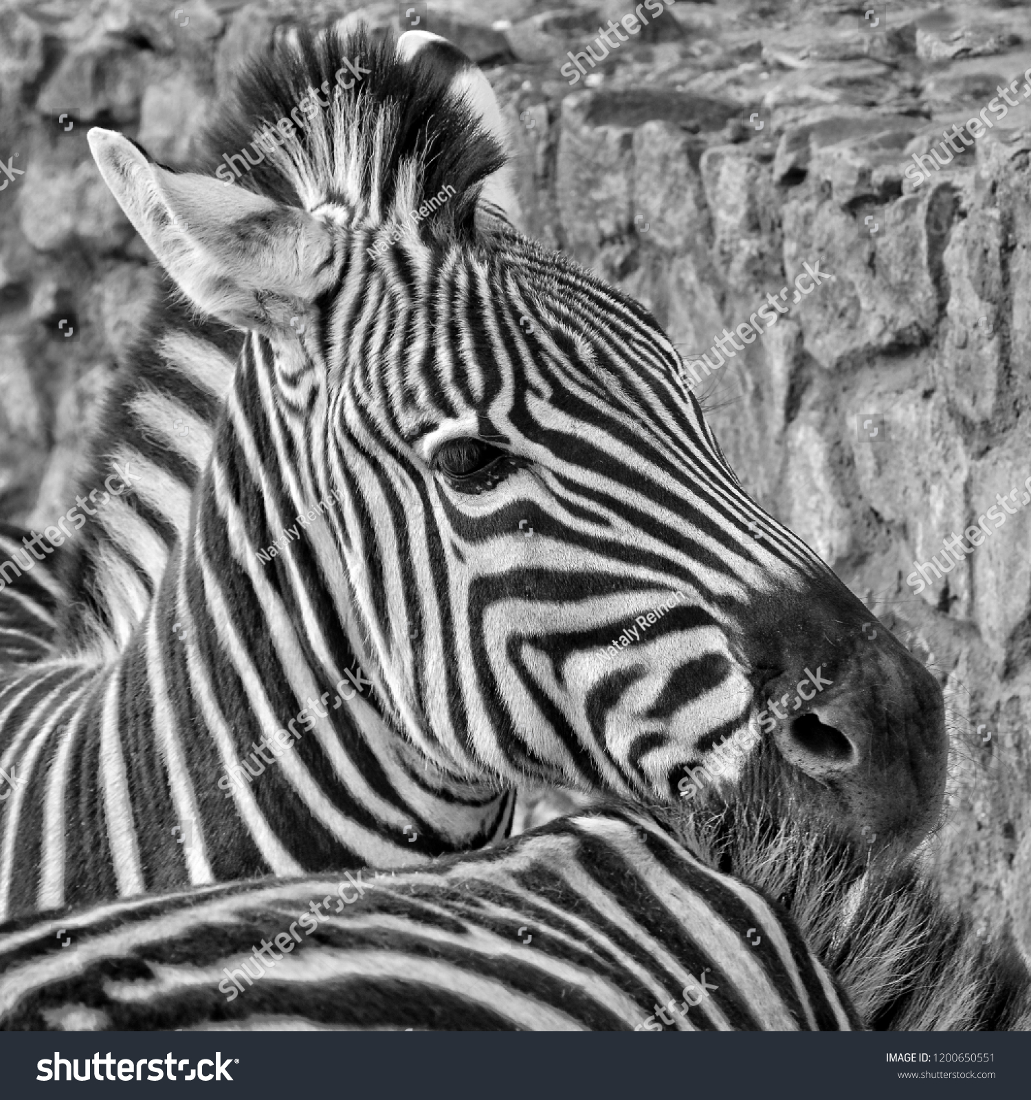 Cute image of african zebras in a zoo black and white photography