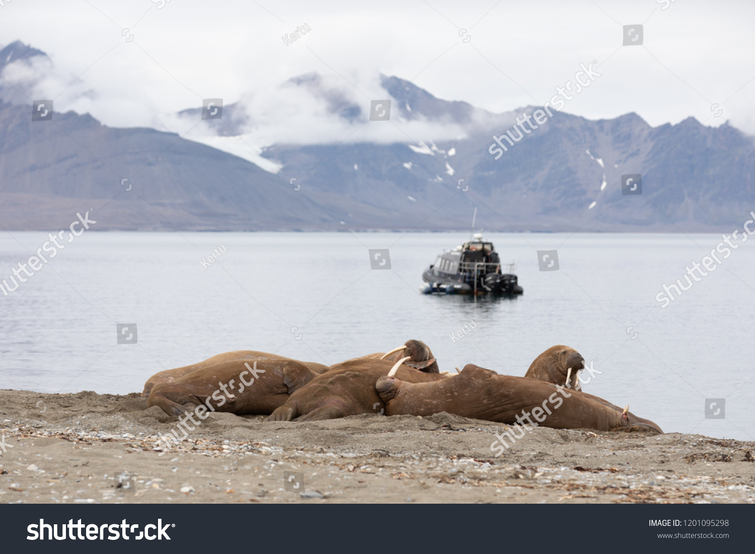 A black tourist boat observing a herd of male walruses suntanning on the beach. Longyearbyen, Svalbard. #1201095298