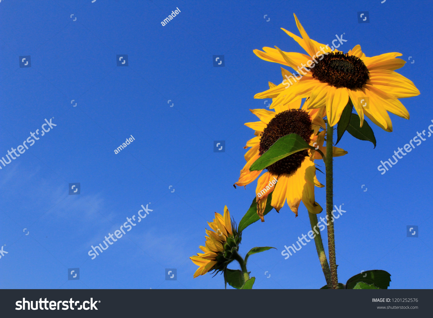 Sunflowers in the sky background.