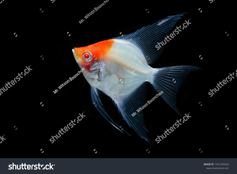 Angel Fish Orange Head Red Eye Stock Photo Edit Now 1201299325