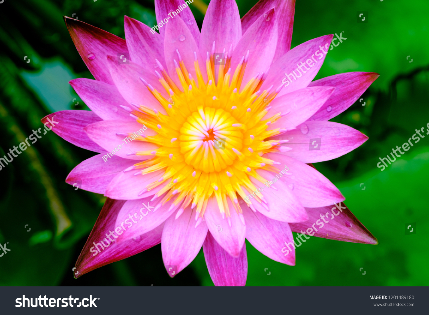 Blooming Pink Lotus Flower Natural Background Stock Photo Edit Now