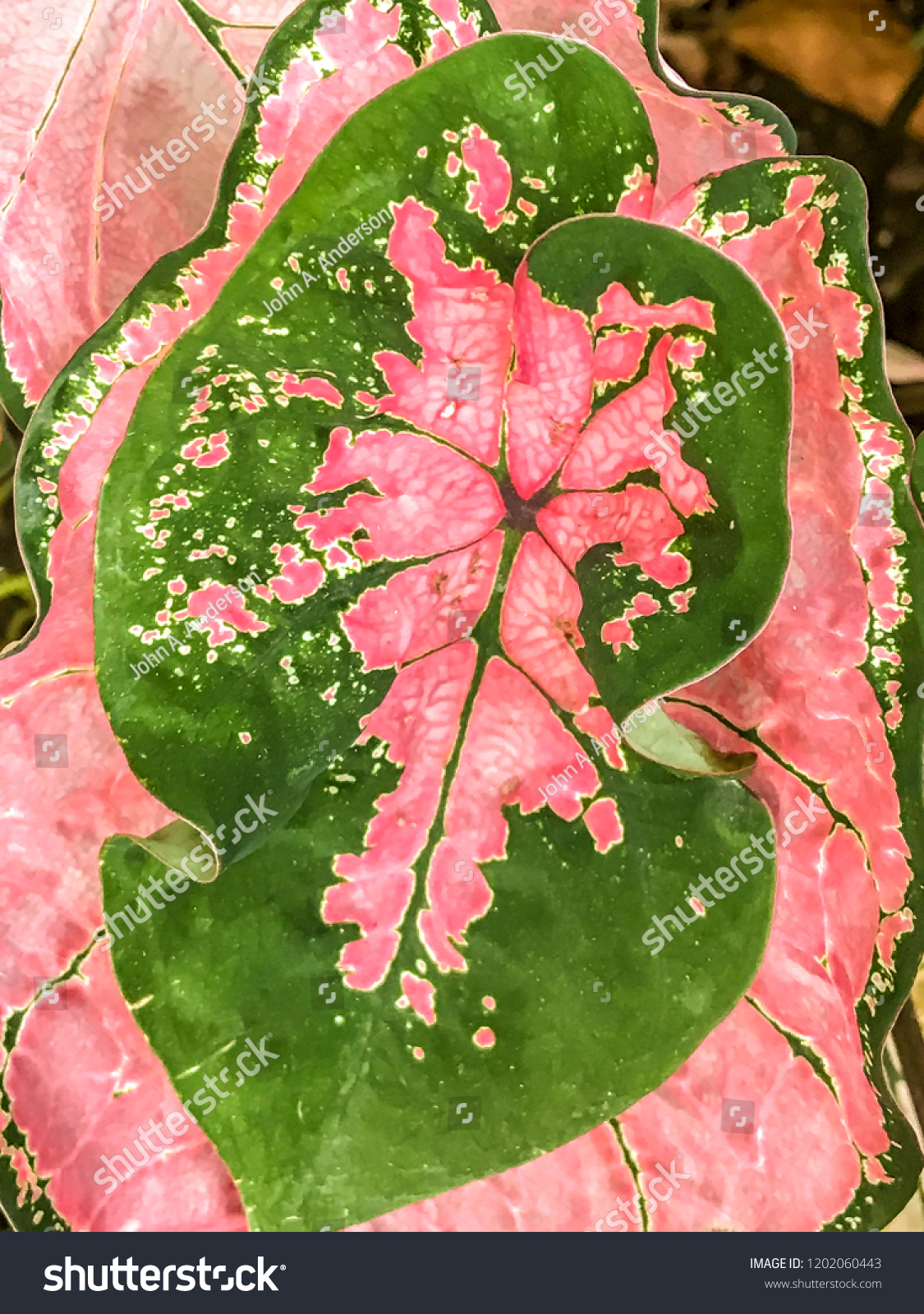 Dwarf Caladium Images Stock Photos Vectors Shutterstock