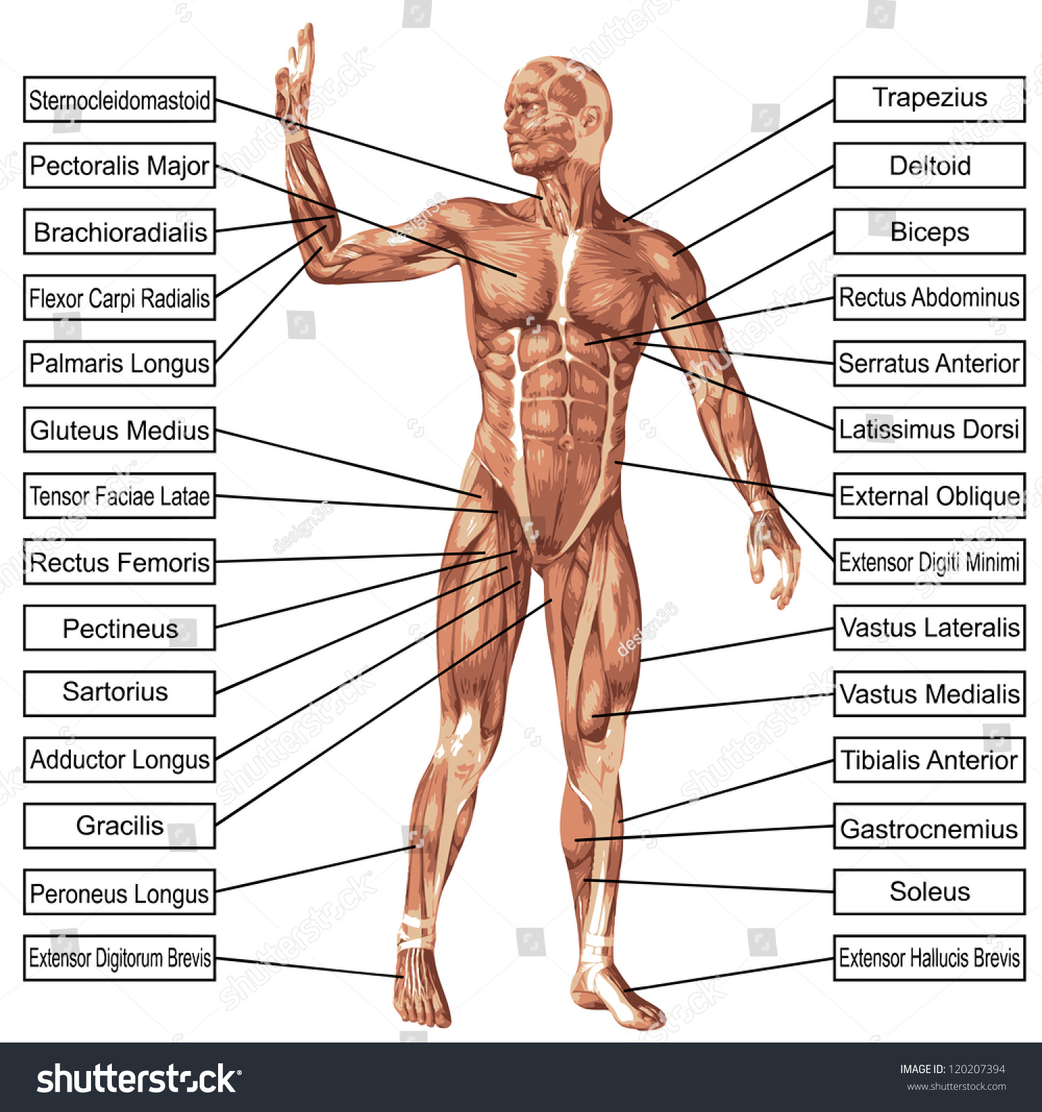 Concept Conceptual 3 D Human Anatomy Muscle Stock Illustration ...