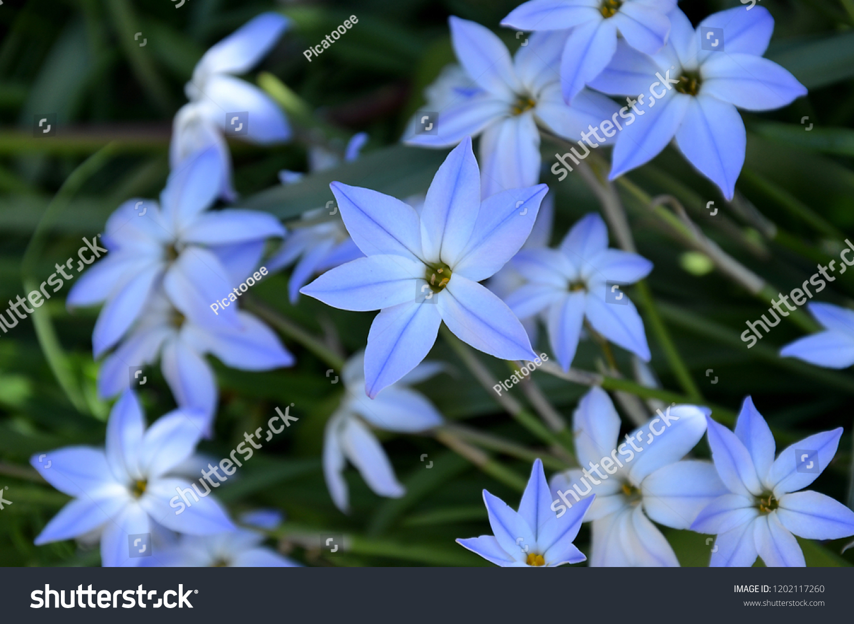 Spring Star Flower Ipheion Stock Photo Edit Now 1202117260