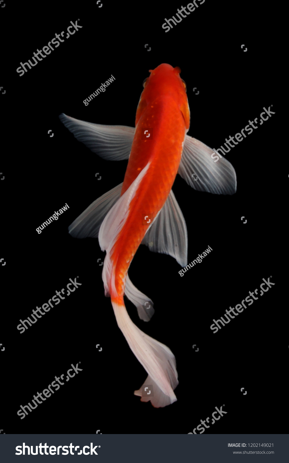 Butterfly Koi Fish Stock Photo Edit Now 1202149021