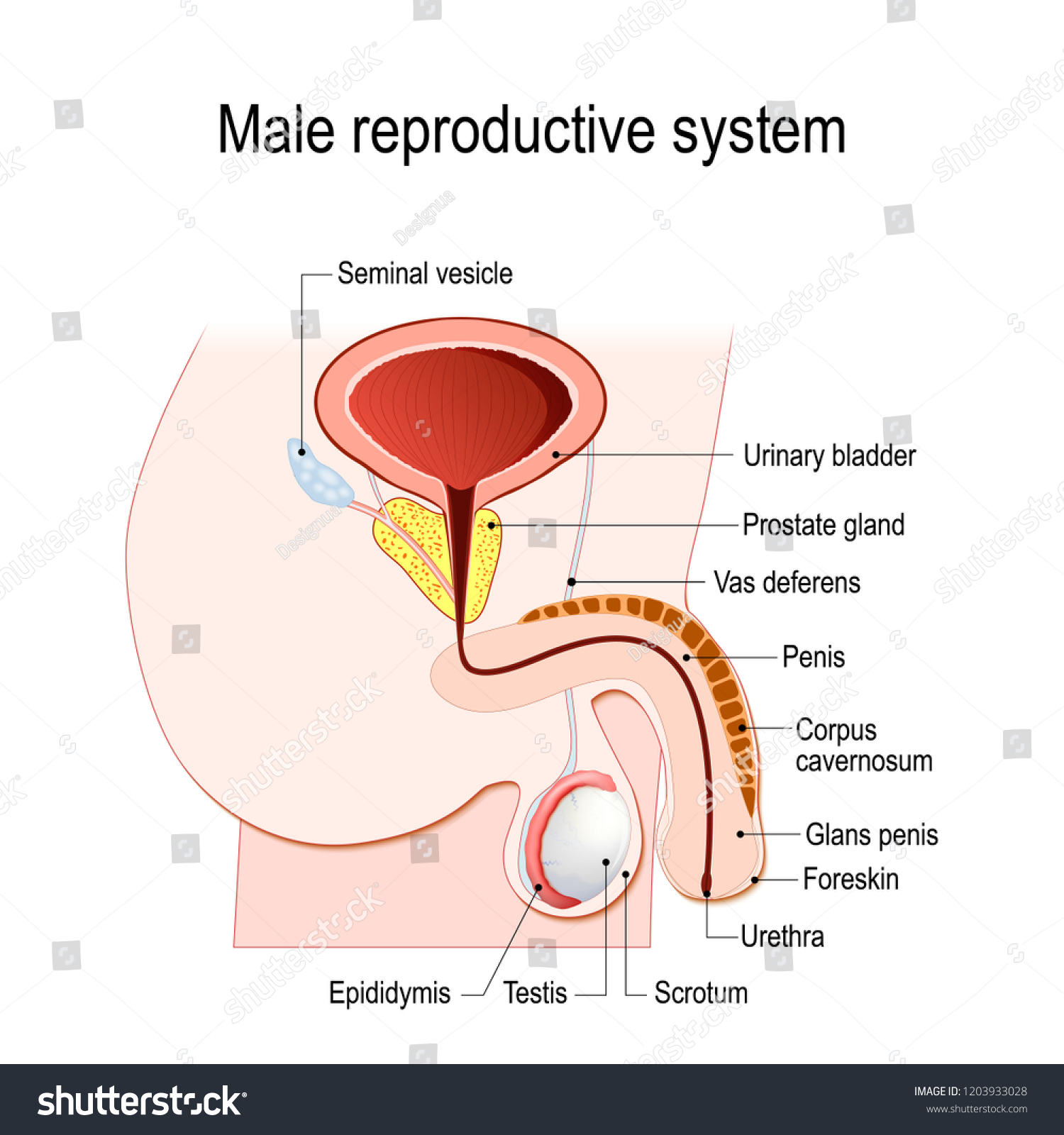 Male Reproductive System Seminal Vesicle Vas Stock Vector Royalty