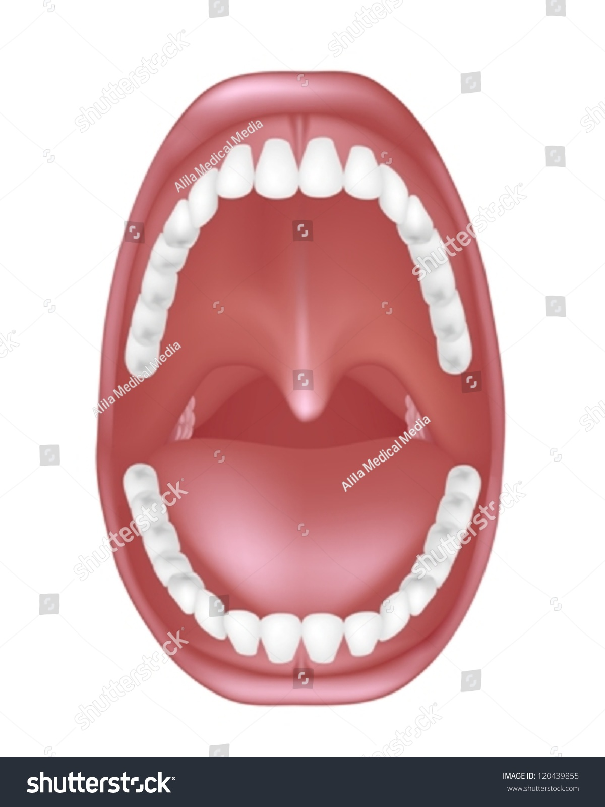 Mouth Anatomy Ez Canvas
