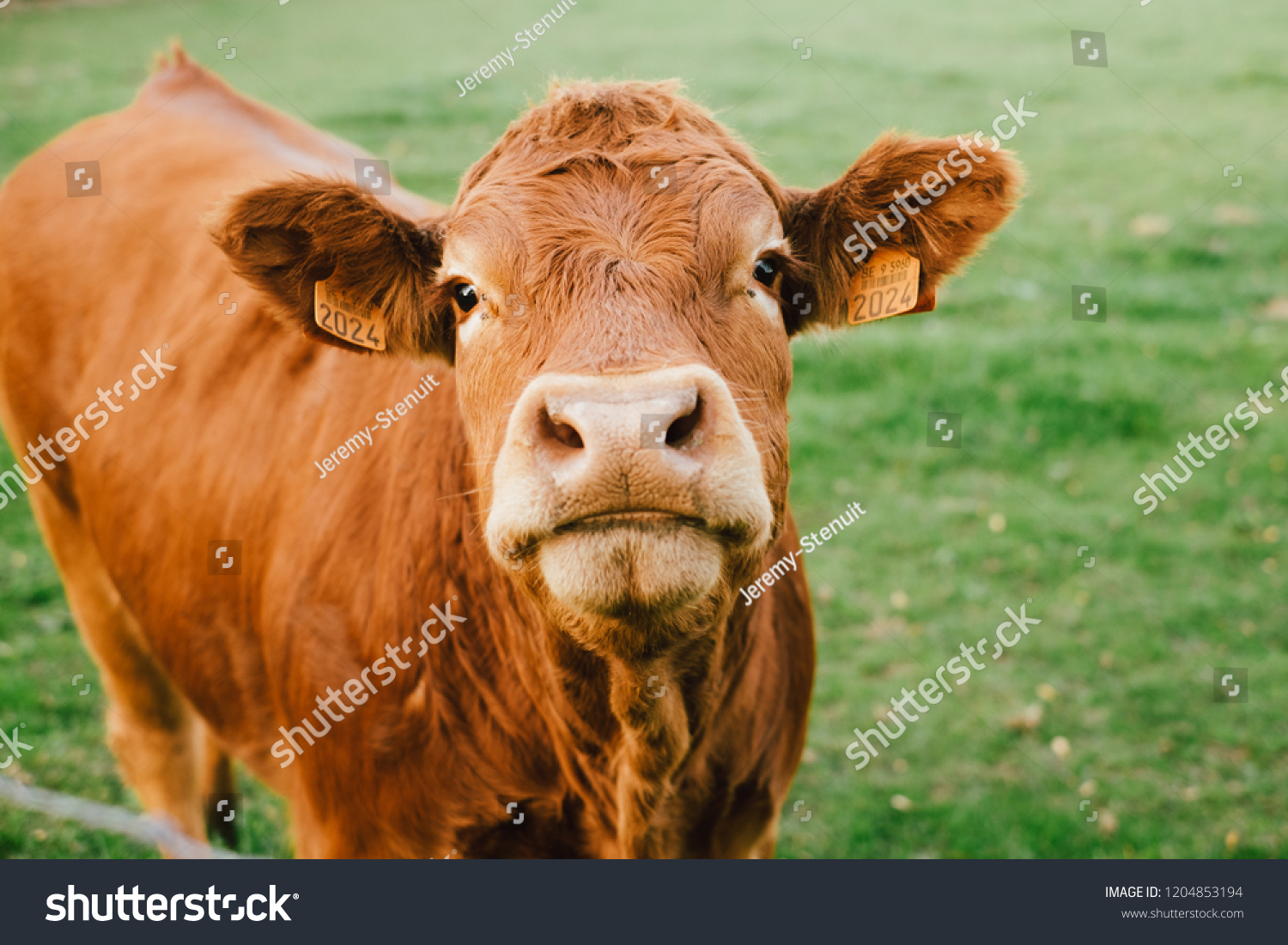 Limousin cow looking at the camera in a field #1204853194