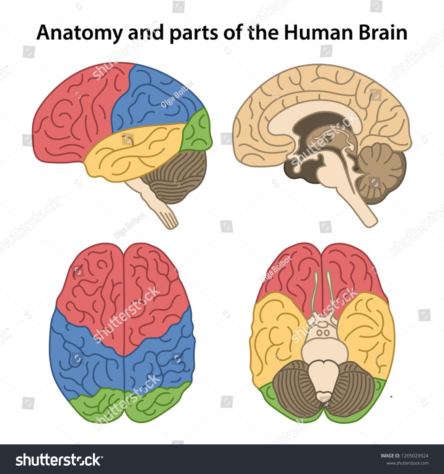 Anatomy Parts Human Brain Lateral Superior Stock Vector Royalty
