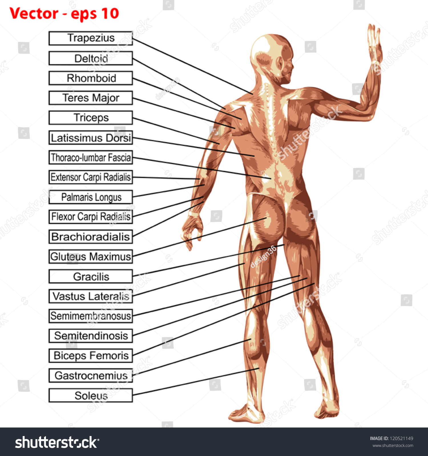 Vector Concept Conceptual 3 D Human Anatomy Stock Vector Royalty