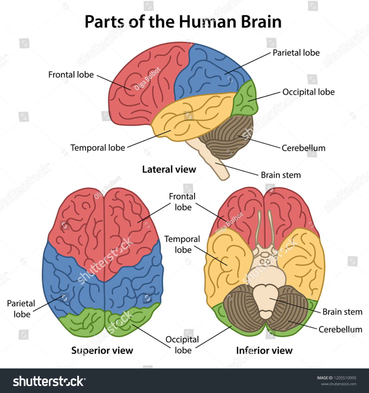 Parts Human Brain Labeled Lateral Superior Stock Vector Royalty