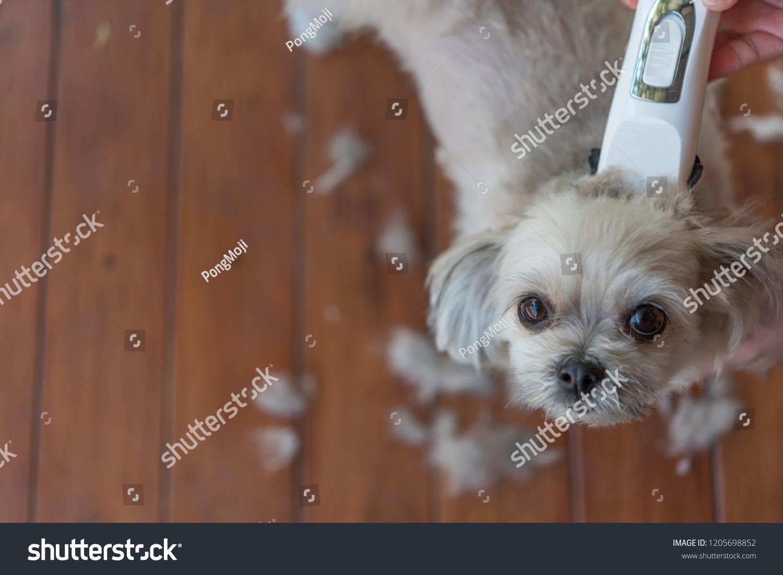 Grooming Haircut Dog Fur Beige Dog Stock Photo Edit Now 1205698852