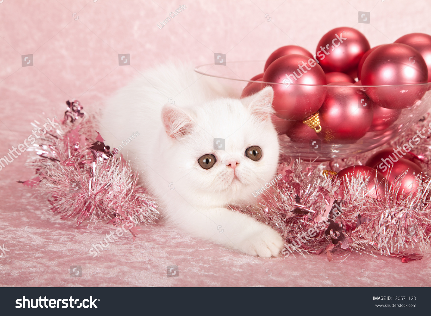 Exotic Kitten With Pink Christmas Decorations And Tinsel
