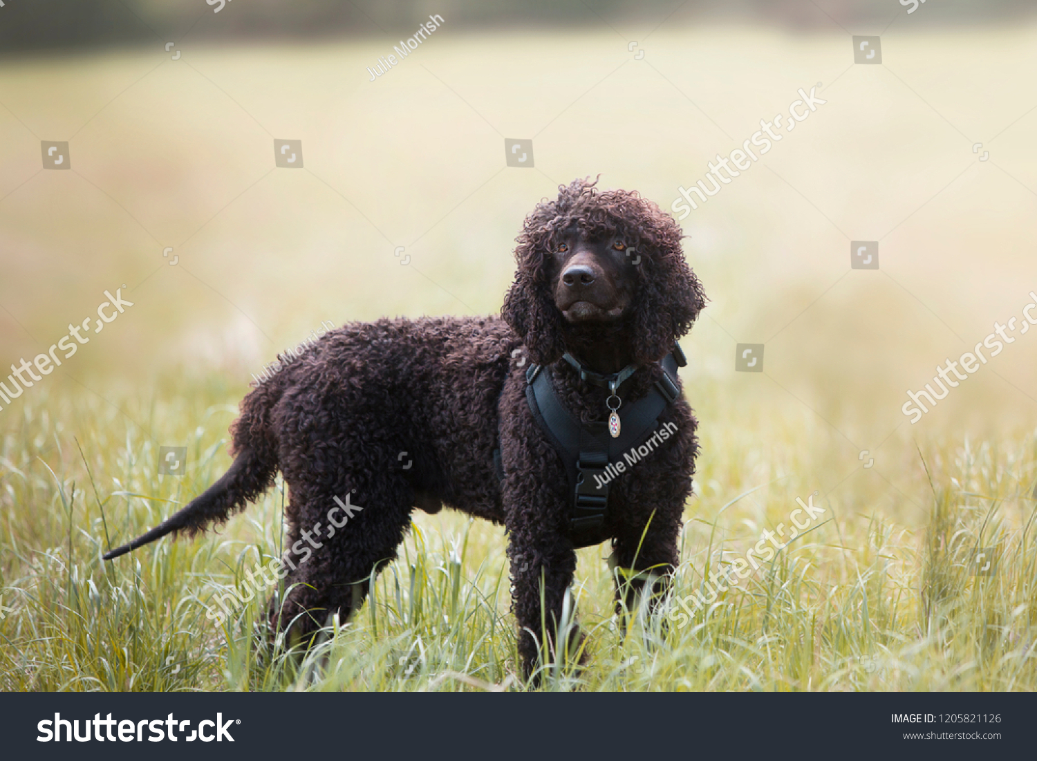 Water Spaniel in an open field.  #1205821126