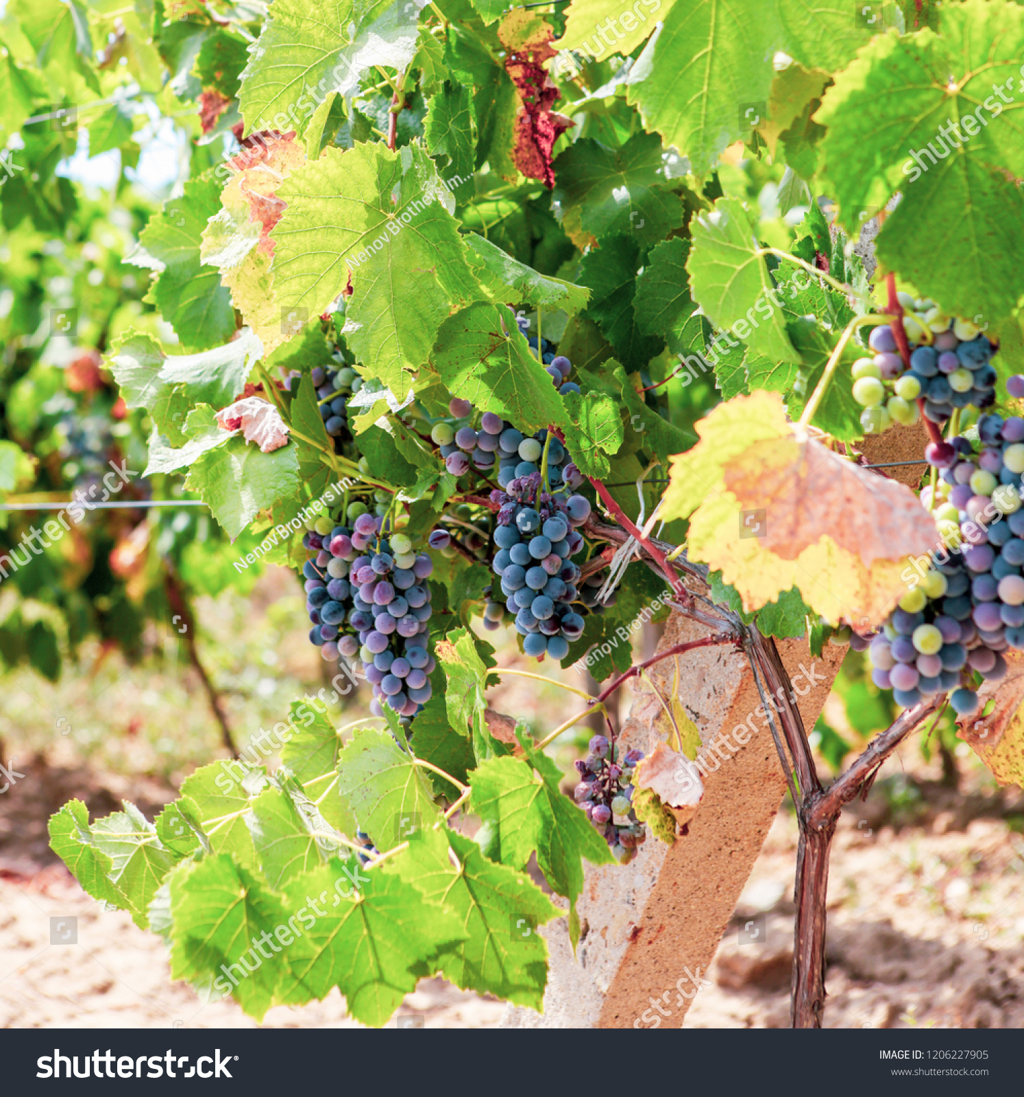 Ecologically Clean Grapes Production High Quality Stock Photo Edit Now 1206227905