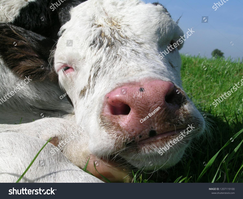 Sleeping Baby Cow Sweet Calf Asleep Stock Photo Edit Now