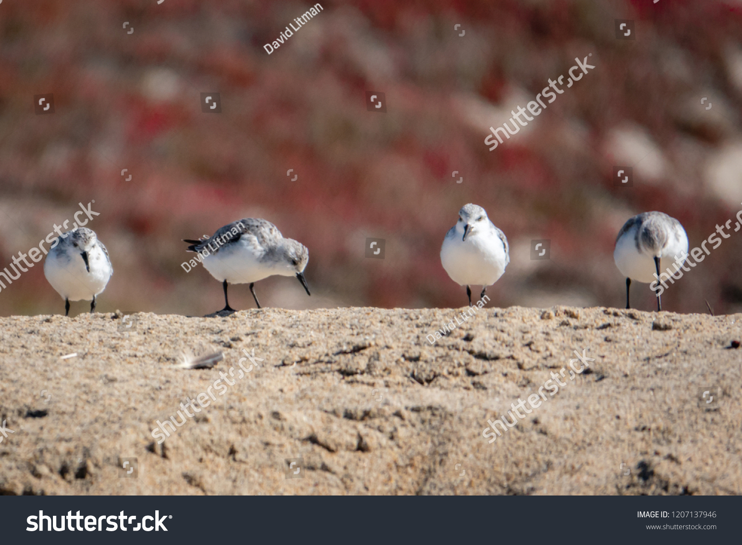 A group of Western Snowy Plovers (Charadrius nivosus) search for food at the beach of Moss Landing, along the Monterey Bay of the Pacific west coast of central California.