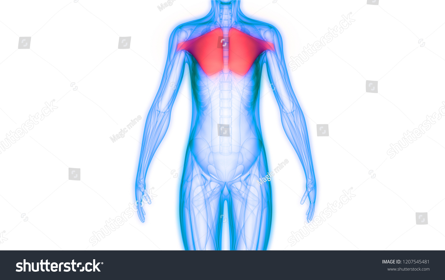 Human Body Muscles Anatomy 3 D Stock Illustration Royalty Free