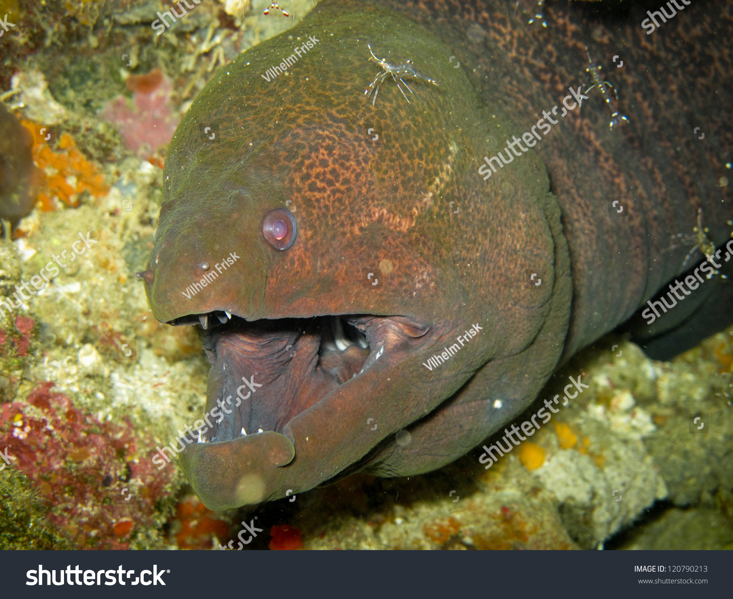 Giant Moray Eel On Coral Reef Stock Photo (Royalty Free) 120790213 ...