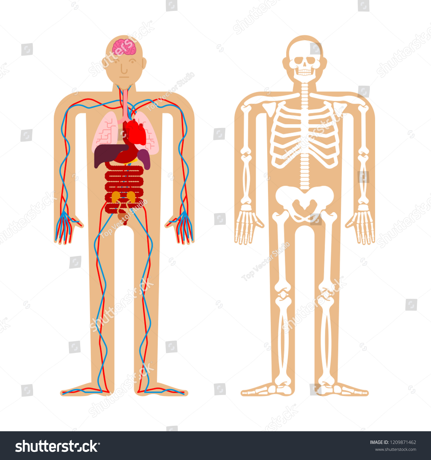 Human Anatomy System Skeleton Internal Organs Stock Vektorgrafik