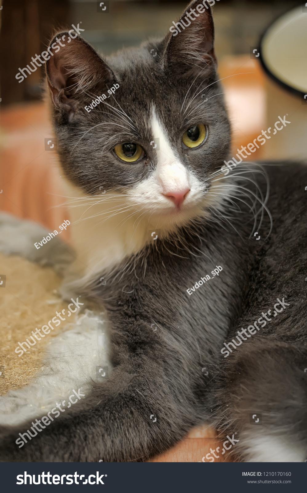 Young Cute Gray White Cat Mestizo Stock Photo Edit Now 1210170160