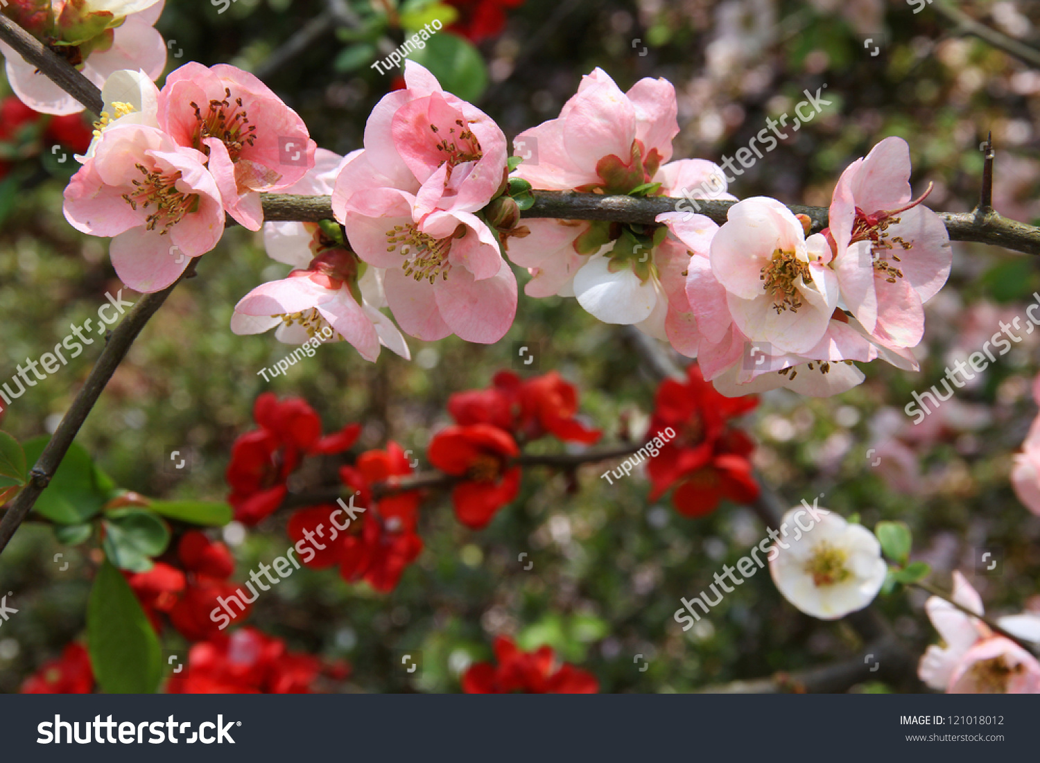 Flowering japanese quince chaenomeles cathayensis garden stock flowering japanese quince chaenomeles cathayensis in a garden in arashiyama kyoto japan biocorpaavc Image collections