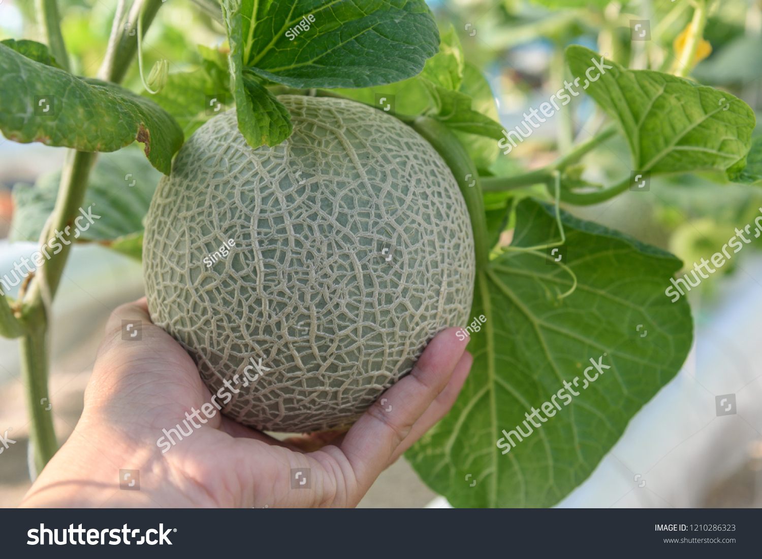 Hand Holding Melons Green Melons Cantaloupe Stock Photo Edit Now 1210286323 Cantaloupes require heat and no environmental stress to produce sweet fruit. shutterstock