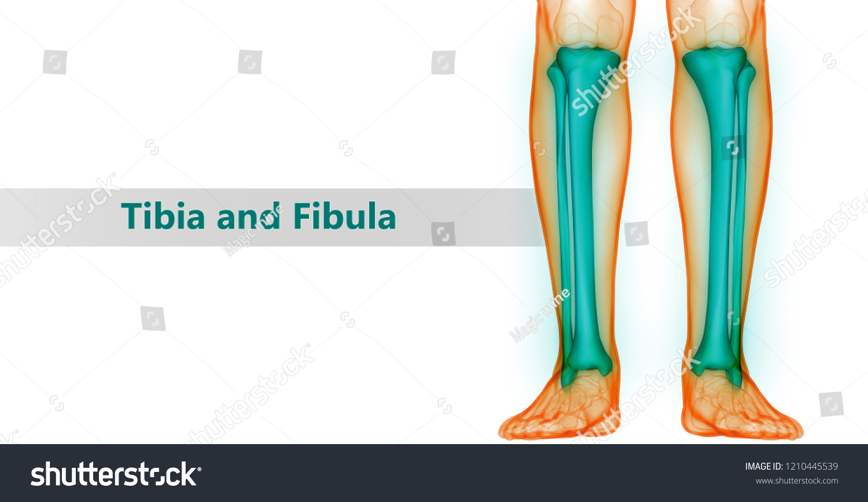 Human Skeleton System Tibia Fibula Bones Stock Illustration