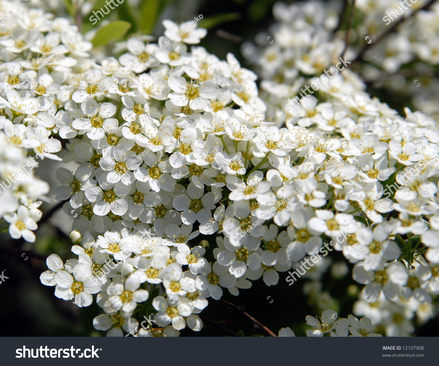 Many small white flowers on bush stock photo edit now 12107908 many small white flowers on a bush mightylinksfo