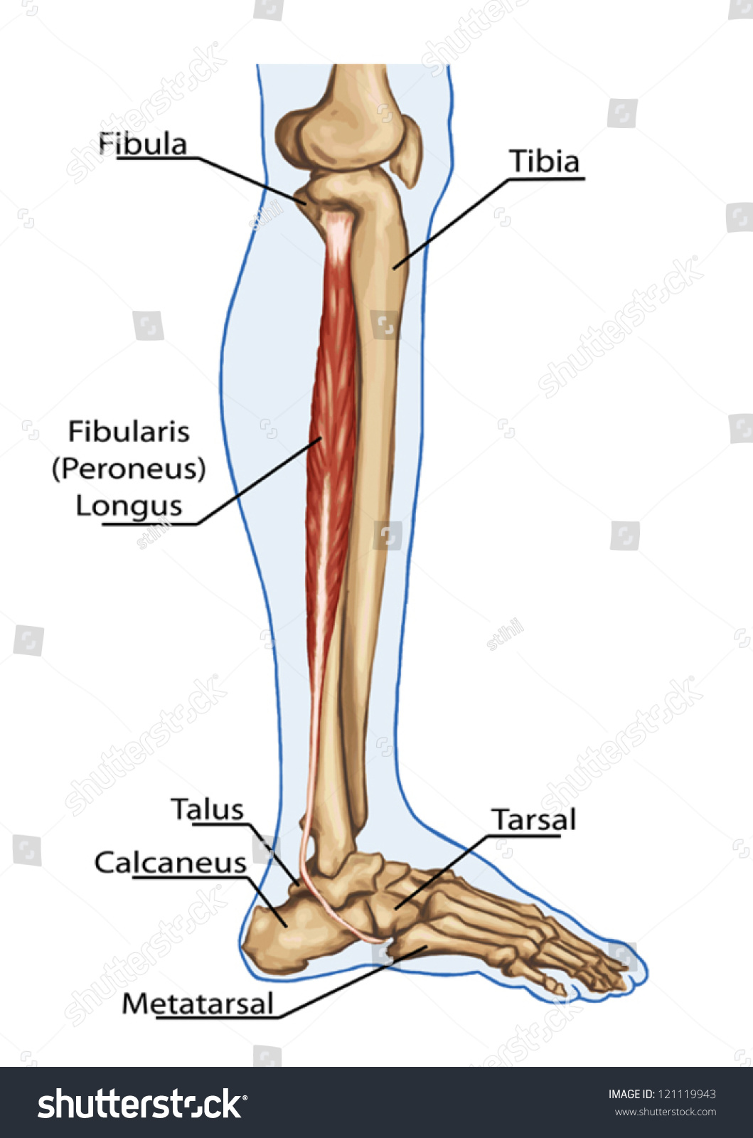 Fibularis Peroneus Longus Anatomy Leg Foot Stock Vector Royalty