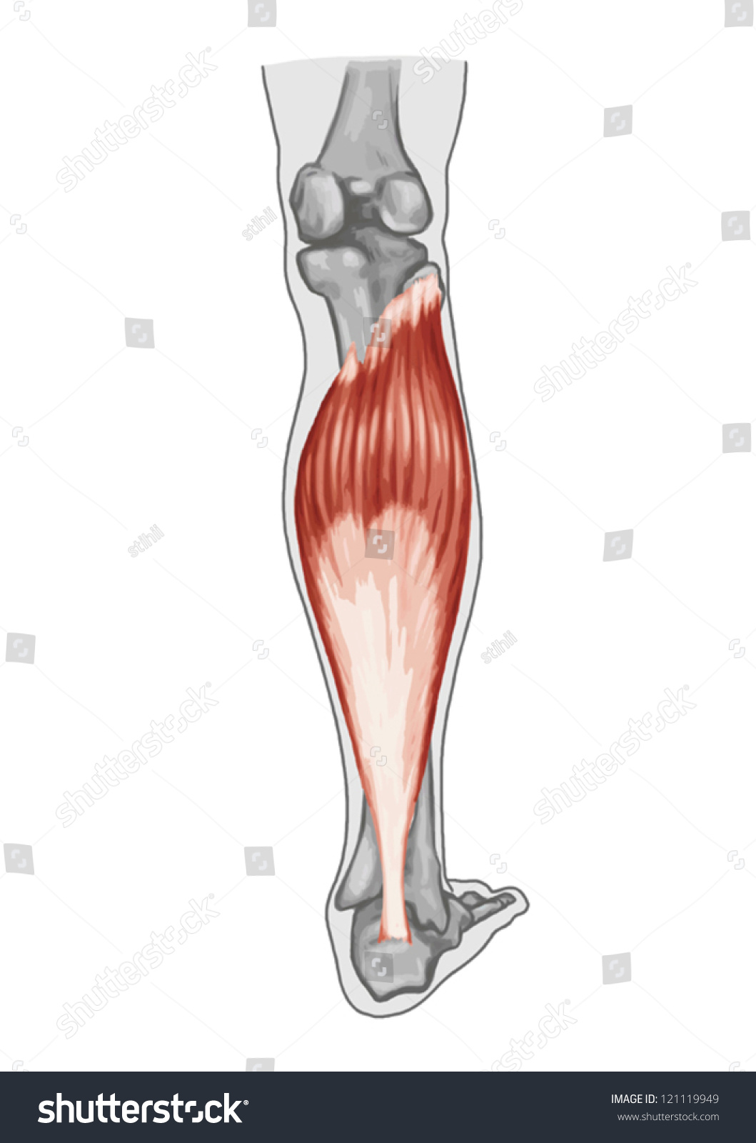 Soleus Anatomy Muscular System Extensor Muscle Stock Vector HD ...
