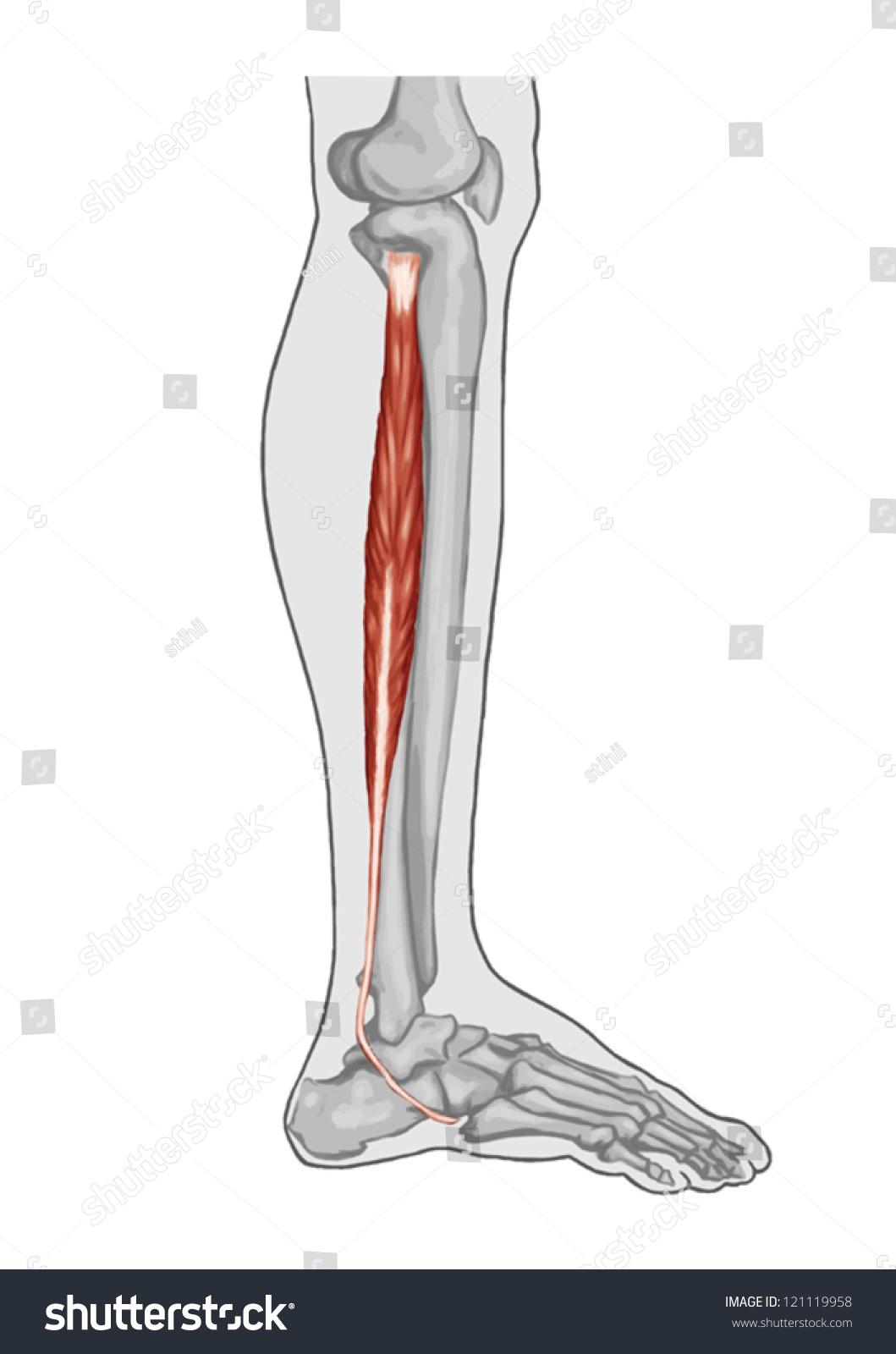 Fibularis Peroneus Longus Anatomy Leg Foot Stock Vector Royalty