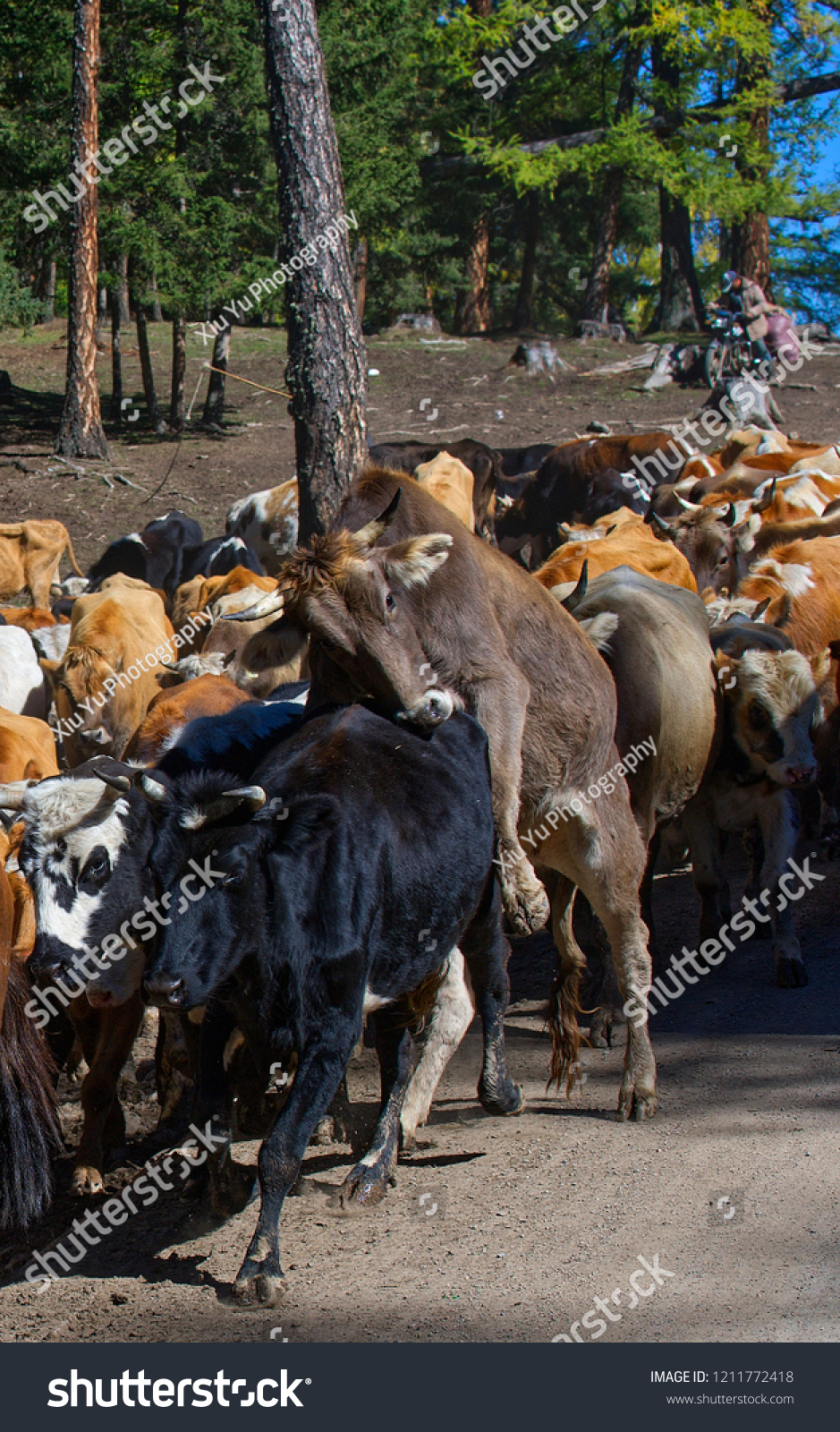 Herds changing from summer pasture to winter pasture in Xinjiang, Chins. Herds of cattle's and sheep are driven by herdsmen. #1211772418