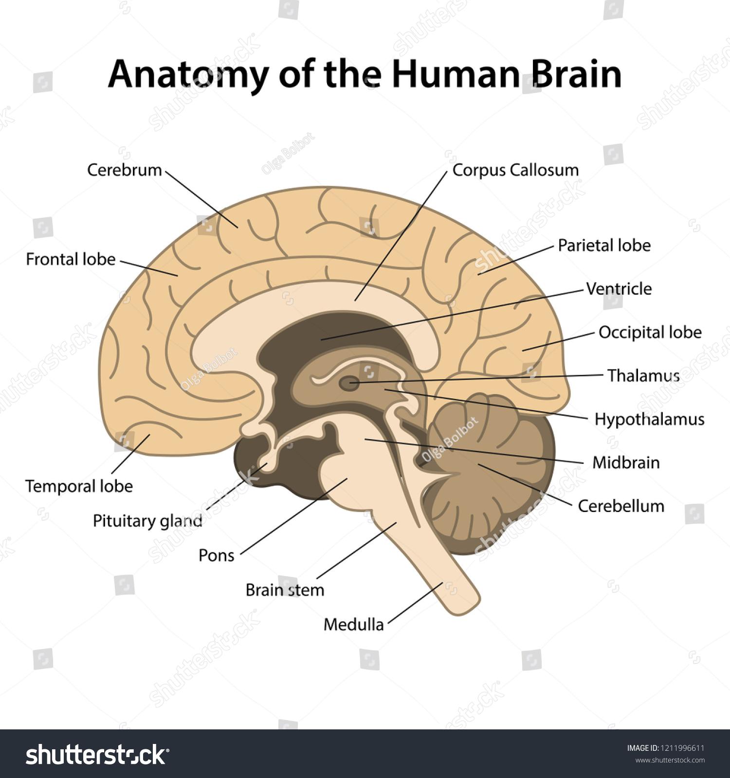 Anatomy Human Brain Sagittal Cut Structure Human Stock Vector
