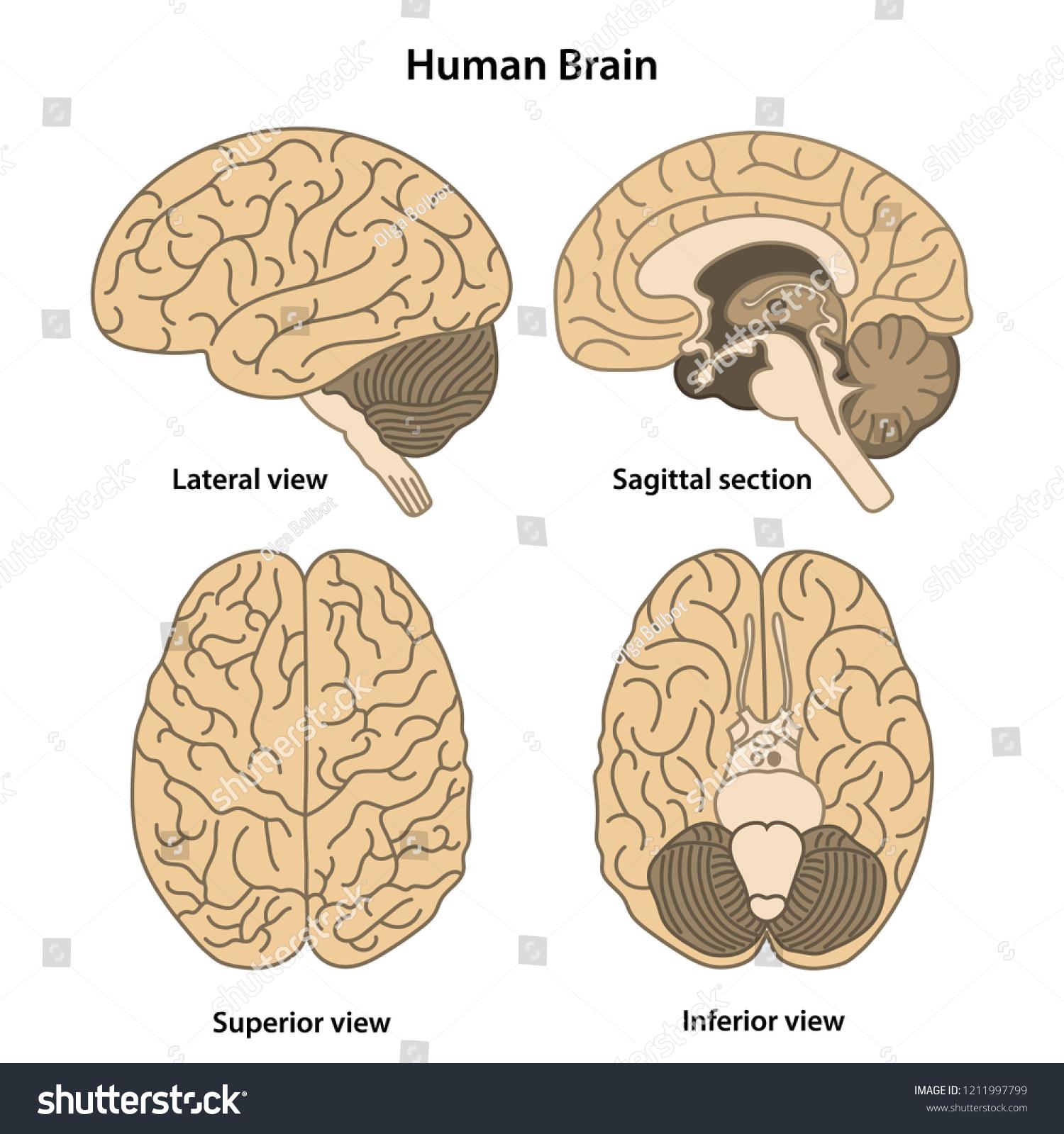 Anatomy Human Brain Lateral Superior Inferior Stock Vector Royalty