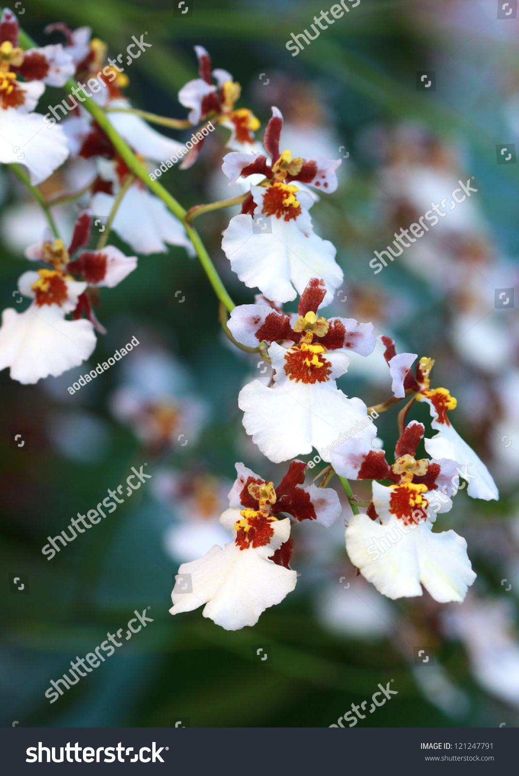 Yellow Dancing Oncidium Orchids Whwwh108 Yl Winward Home Botanical