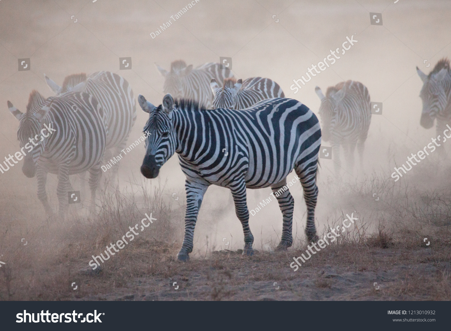 Zebras and Wildebeests Emerging from a Dust Cloud in Africa #1213010932