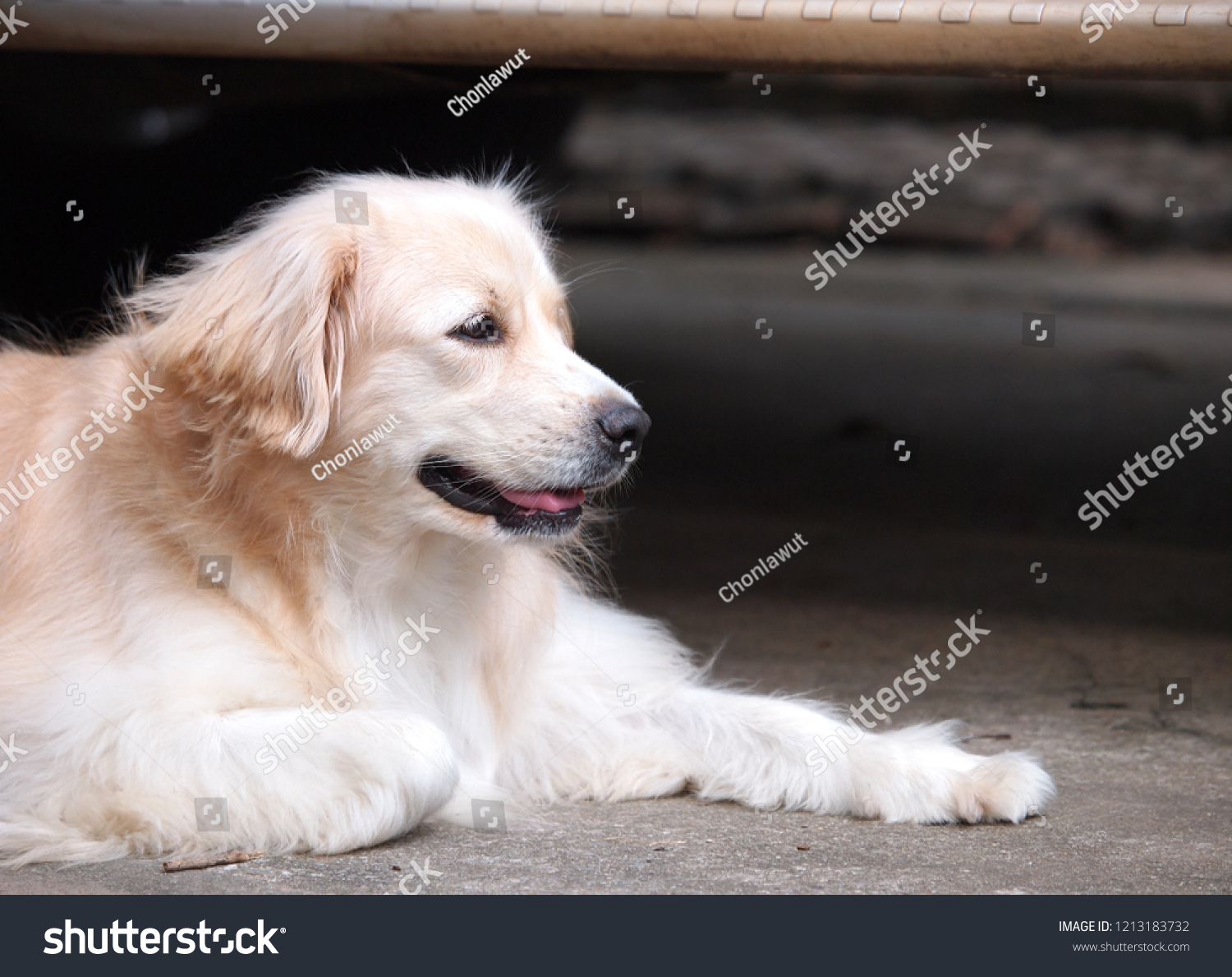 Lonesome lonely sad white cute fat long hair puppy crossbred handsome dog portraits laying outdoor on